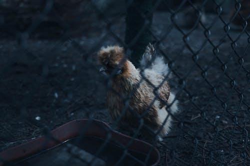 ケージ, ダーク, チキン, トレイの無料の写真素材