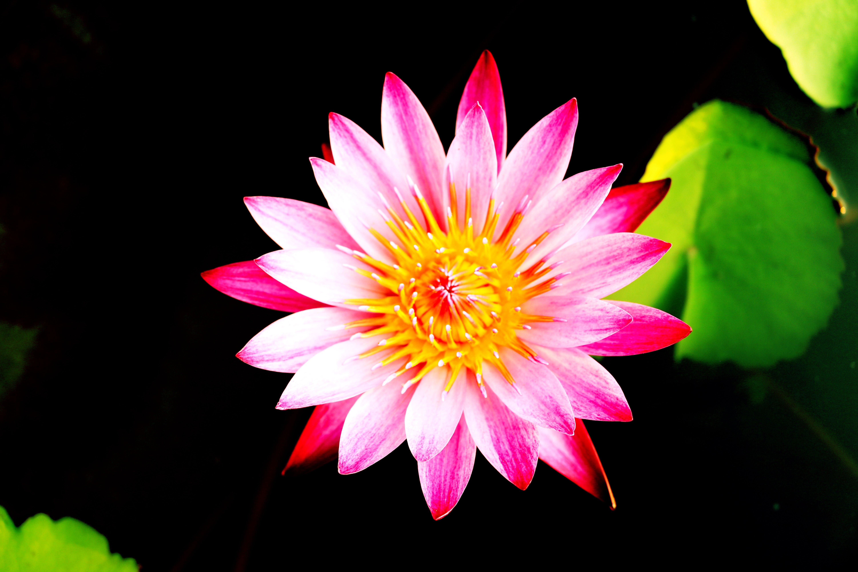 Free stock photo of lotus