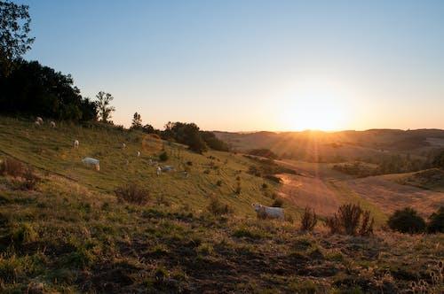 Foto d'estoc gratuïta de alba, animals, capvespre, pastura