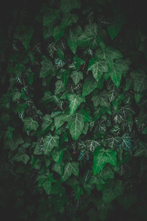 Základová fotografie zdarma na téma břečťan, listy, prostředí, rostlina