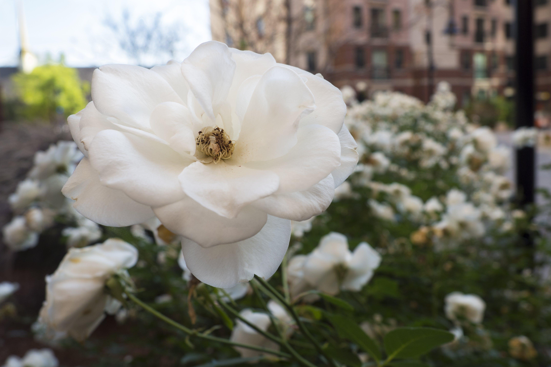 Kostenloses Stock Foto zu blume, blütenblätter, natur, rein