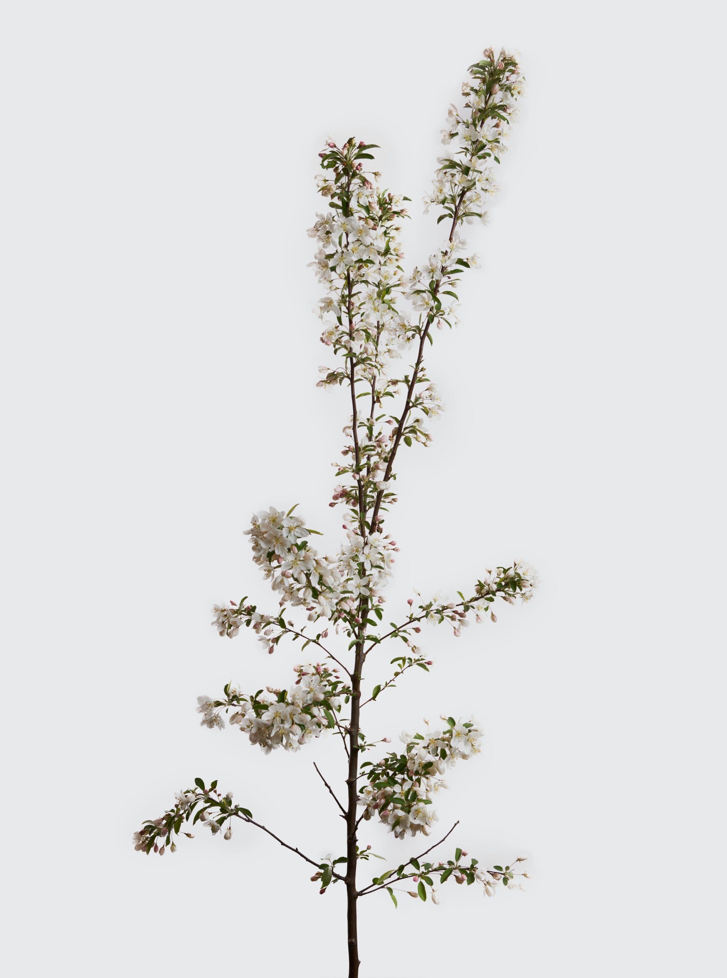 Foto d'estoc gratuïta de flor, flora, floració, flors blanques