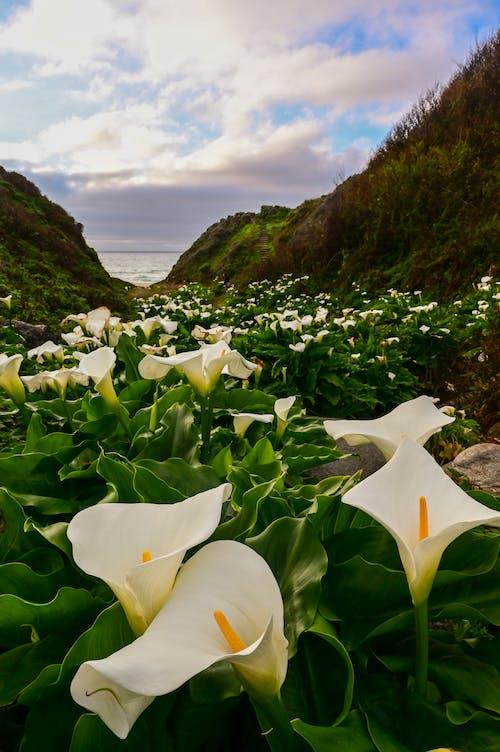 Foto stok gratis bunga, bunga bakung, bunga lili, calla lily