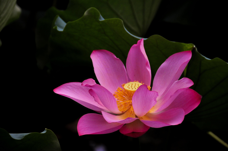 つぼみ, 紫, 花, 花弁の無料の写真素材
