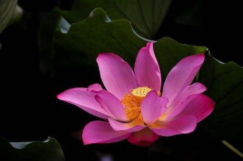 Ảnh lưu trữ miễn phí về cánh hoa, hoa sen, lá, màu tím