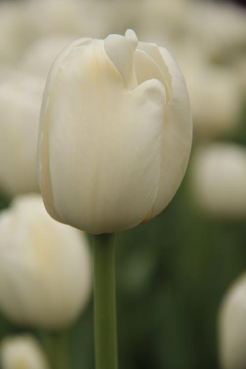 Základová fotografie zdarma na téma bílý tulipán, tulipány