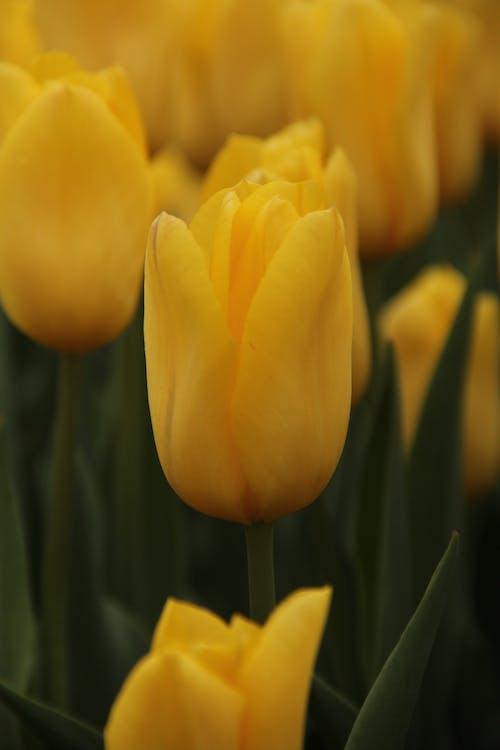 Základová fotografie zdarma na téma tulipán, žlutý tulipán
