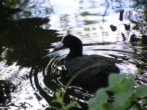 Free stock photo of ducks, nature