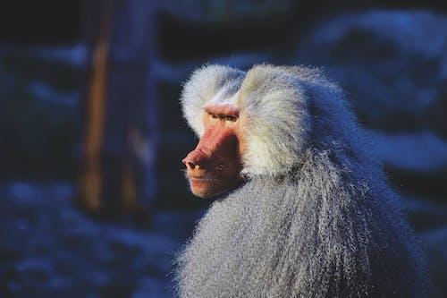 Gratis stockfoto met aap, baviaan, beest, buiten