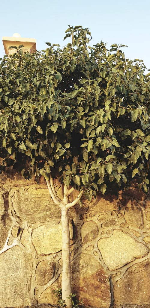 Free stock photo of fig, fig fruit, fig tree