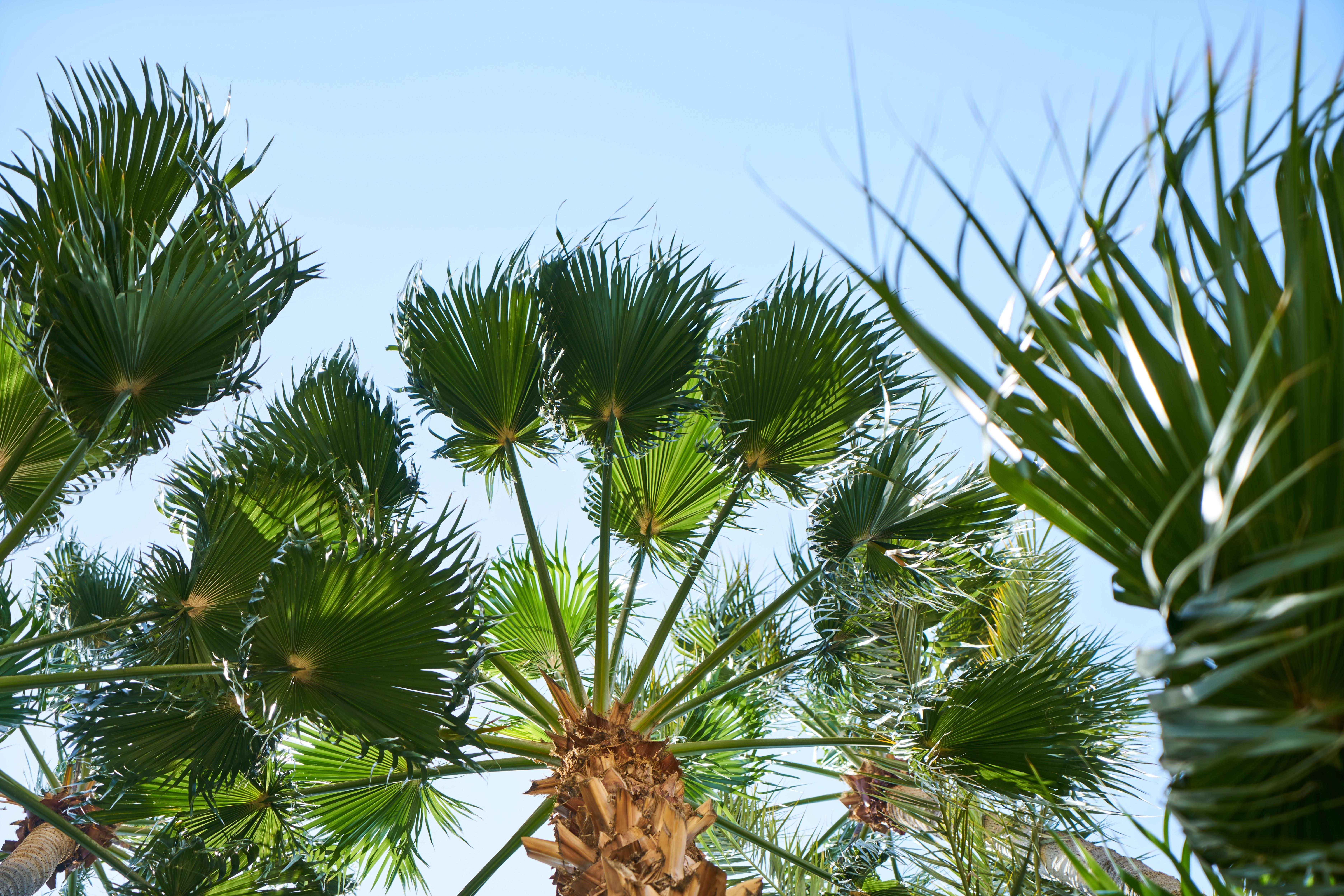 Gratis lagerfoto af afslappende, asiatisk palmyra palm, baggrund, blå himmel