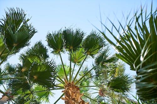 亞洲扇葉樹頭櫚棕櫚, 低角度拍攝, 公園, 分支機構 的 免費圖庫相片