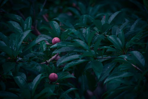 Free stock photo of dark, forest, fruit, leaves