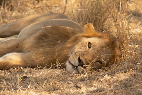 Lion Lying on Brown Grass Field