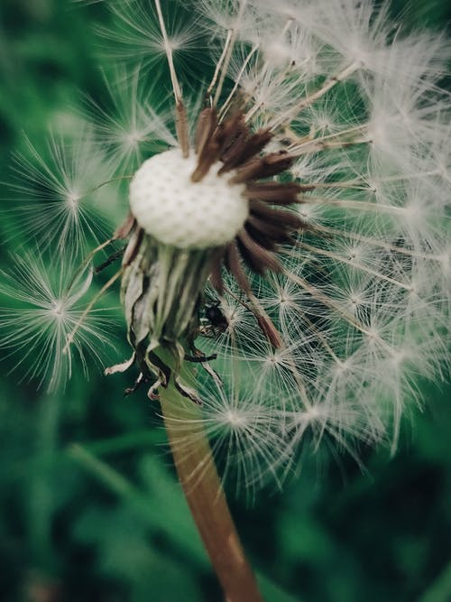 Focus Photography of Dandelion