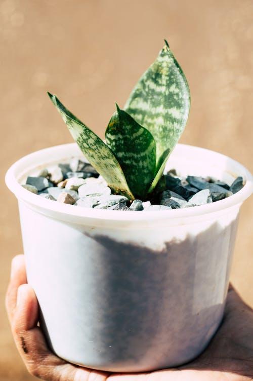 Ingyenes stockfotó aloé, Aloe vera, cserép, cserepes növény témában