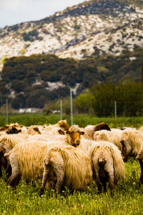 Shallow Focus Photo of Herd of Sheep on Grass Field
