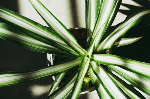 Close-up Photography of Dracaena Plant