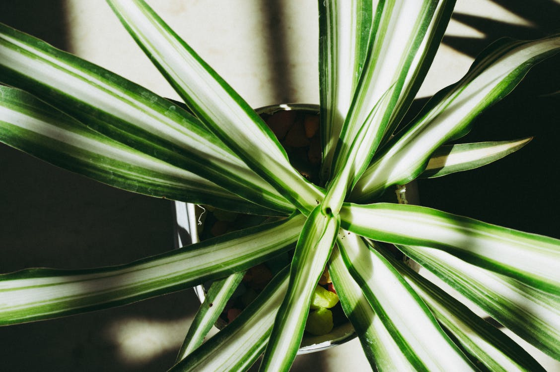 Close-up Photography of Dracaena Plant