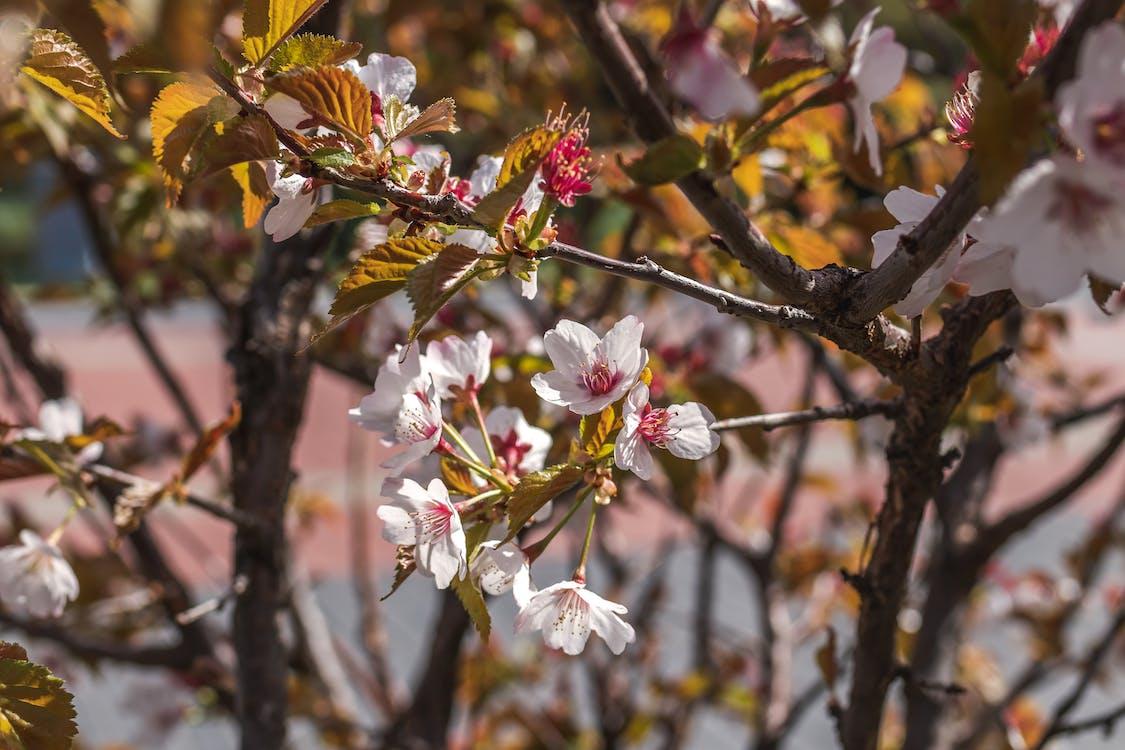beatiful, biela, čerešňový kvet
