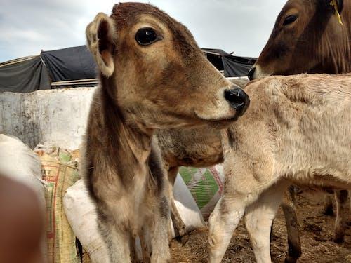 Gratis lagerfoto af Indien, ko