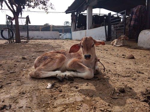 Gratis lagerfoto af gård, Indien, indisk ko, kalv