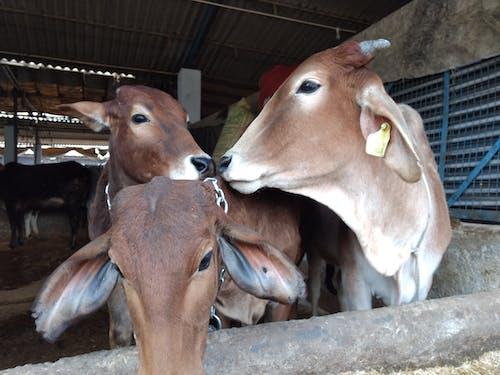 Fotos de stock gratuitas de becerro, India, vaca