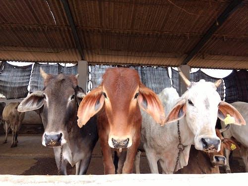 Gratis lagerfoto af Indien, kalv, ko