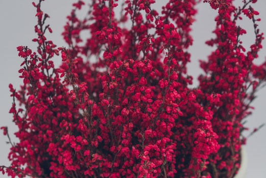Free stock photo of flower, red plant