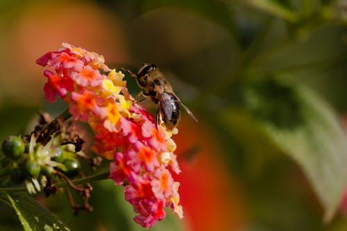 Free stock photo of bee, bee on flower, bee pollen, flower