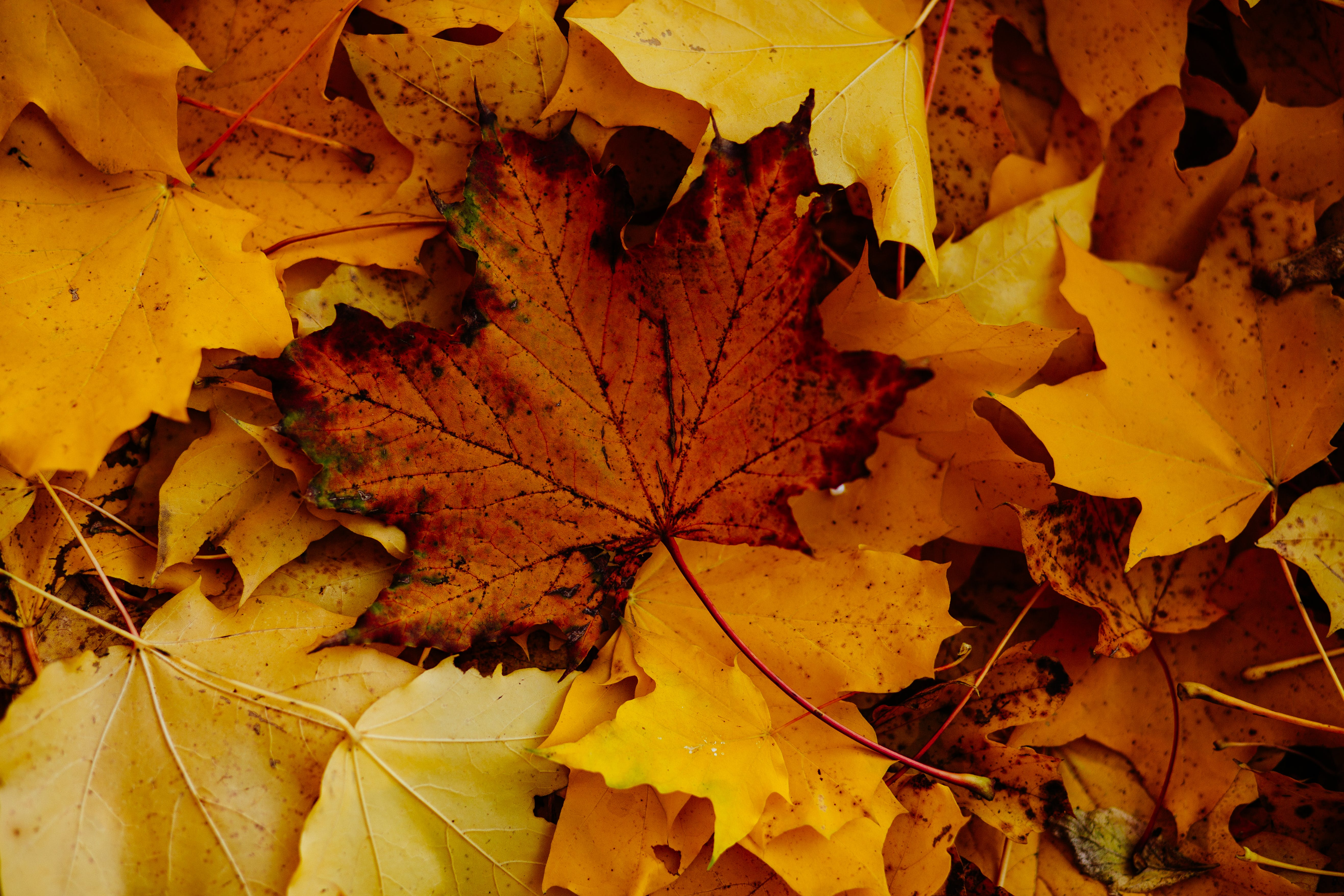Close-Up Photo of Dry Maple Leaves