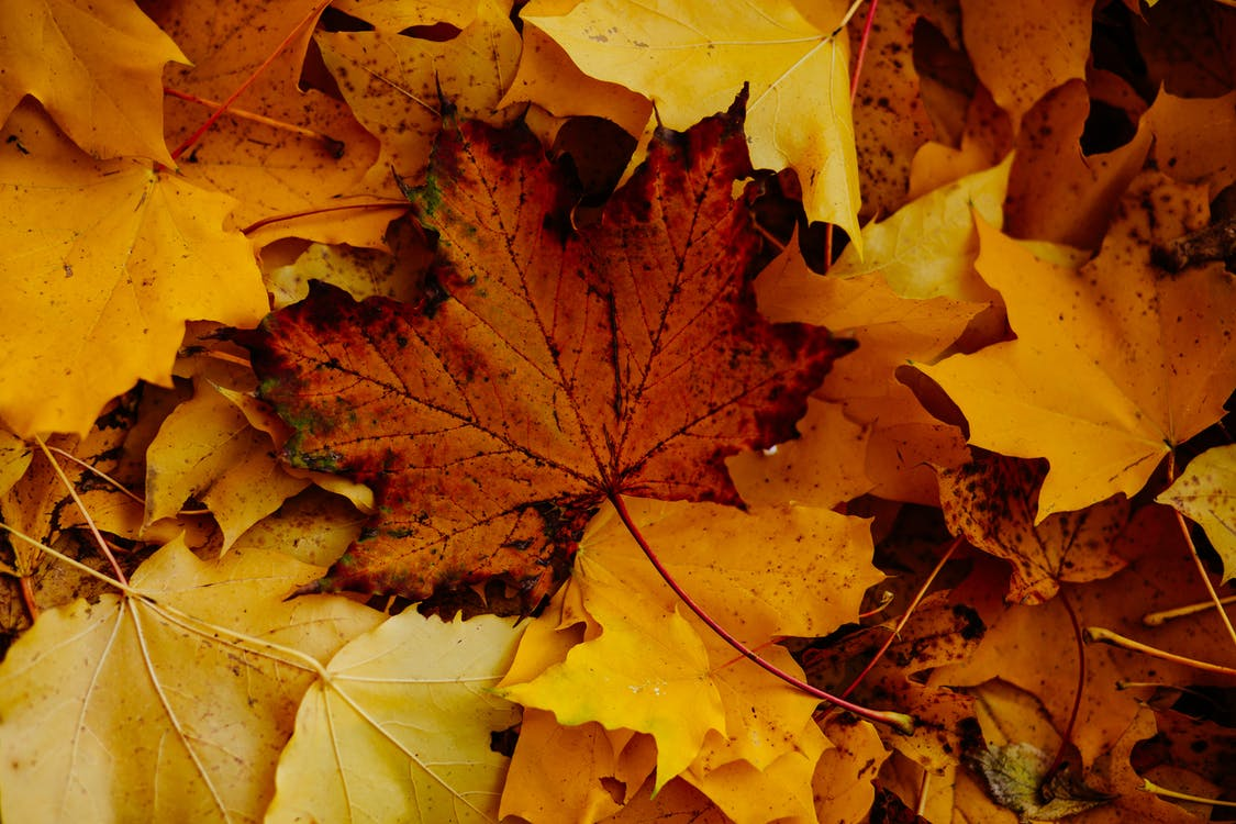 季節, 枯葉, 楓葉