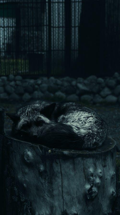 動物, 狐狸, 睡眠, 黑色 的 免费素材照片