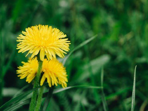 Free stock photo of closeup, dandelion, detail, flower