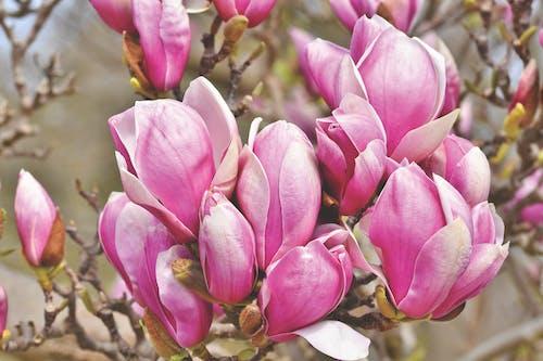 Gratis arkivbilde med magnolia
