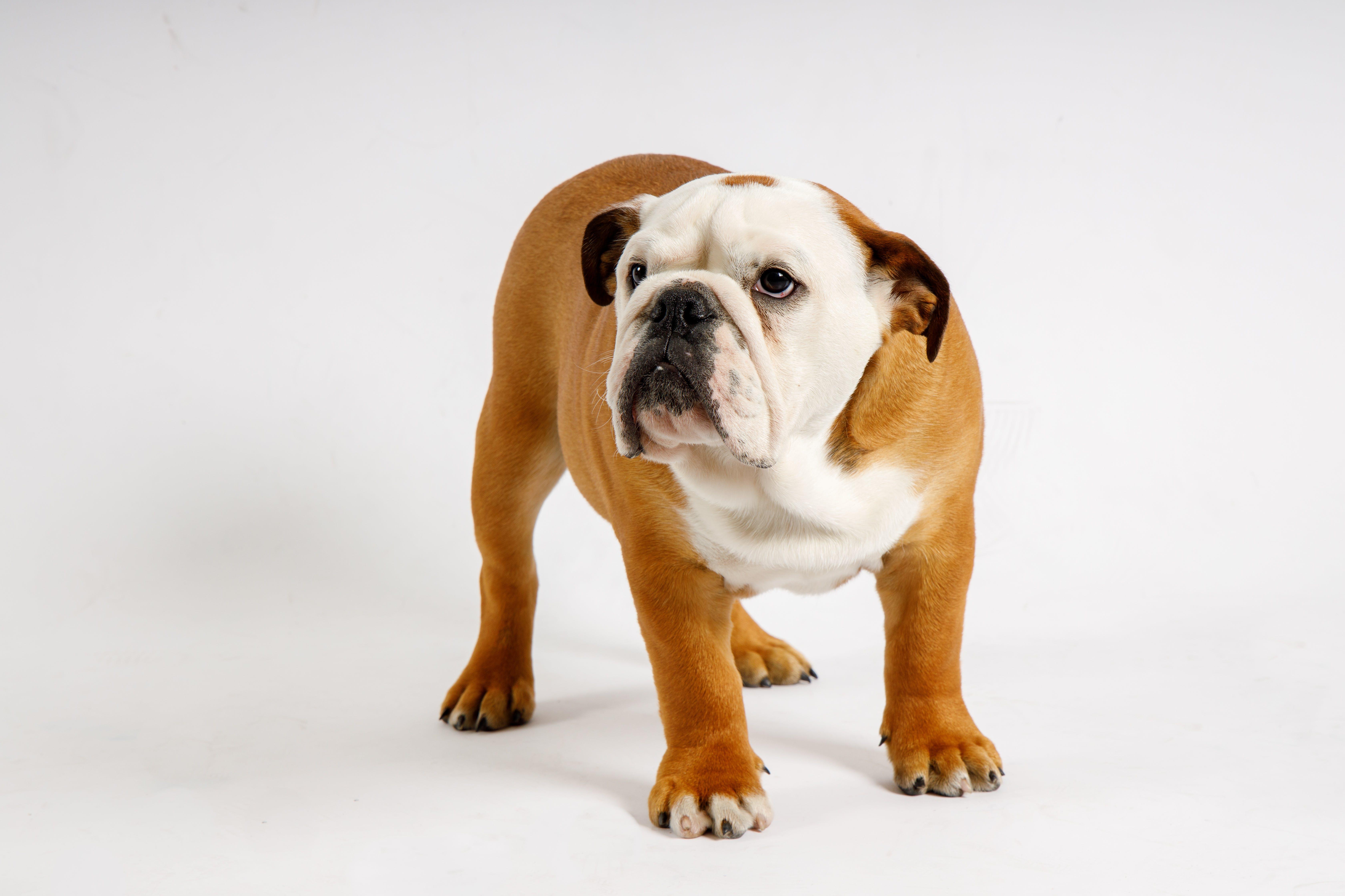 Gratis lagerfoto af engelsk bulldog, hvalp, hvid baggrund, studio lys
