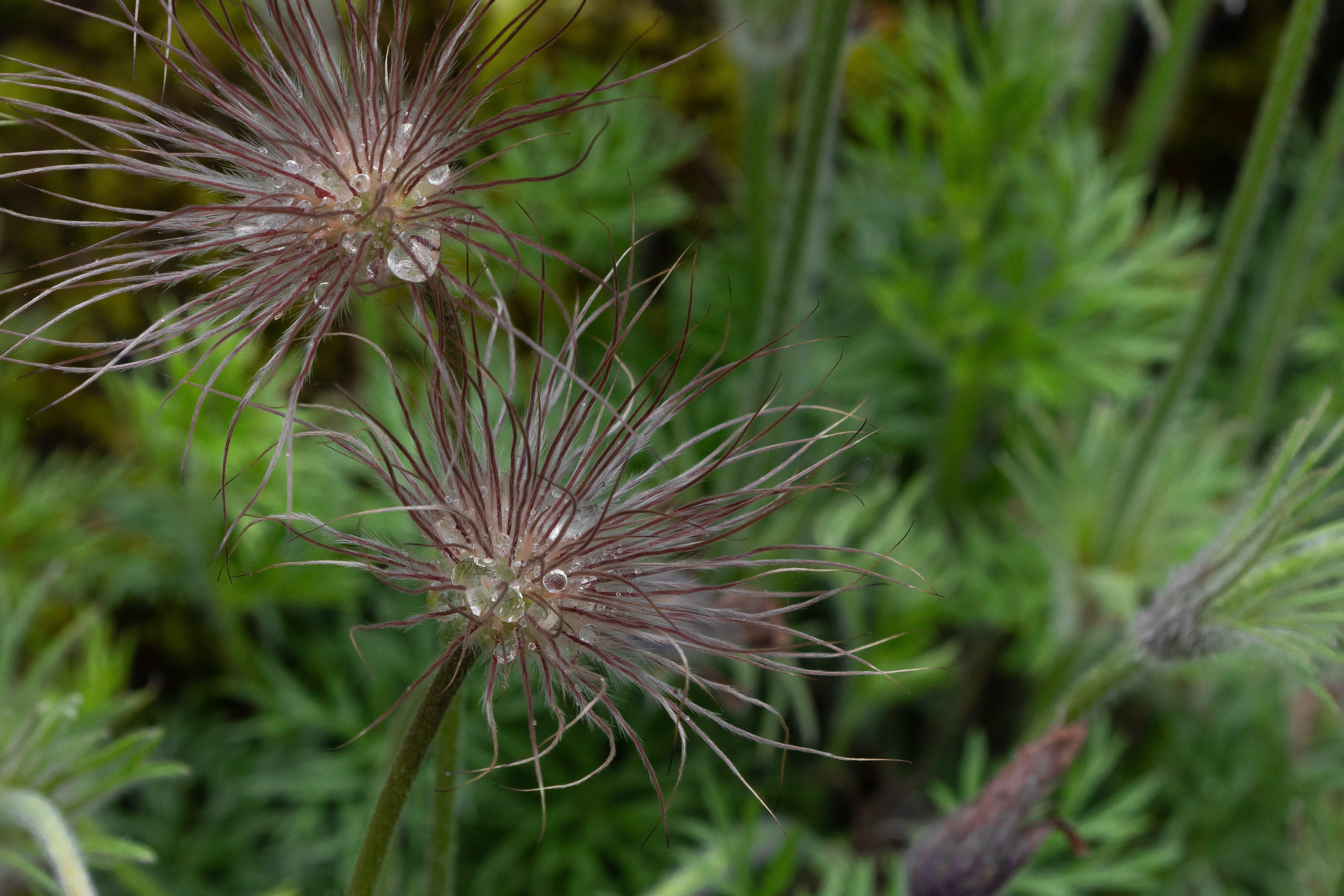 Foto profissional grátis de açafrão da pradaria, beleza da natureza, beleza na natureza, botânico