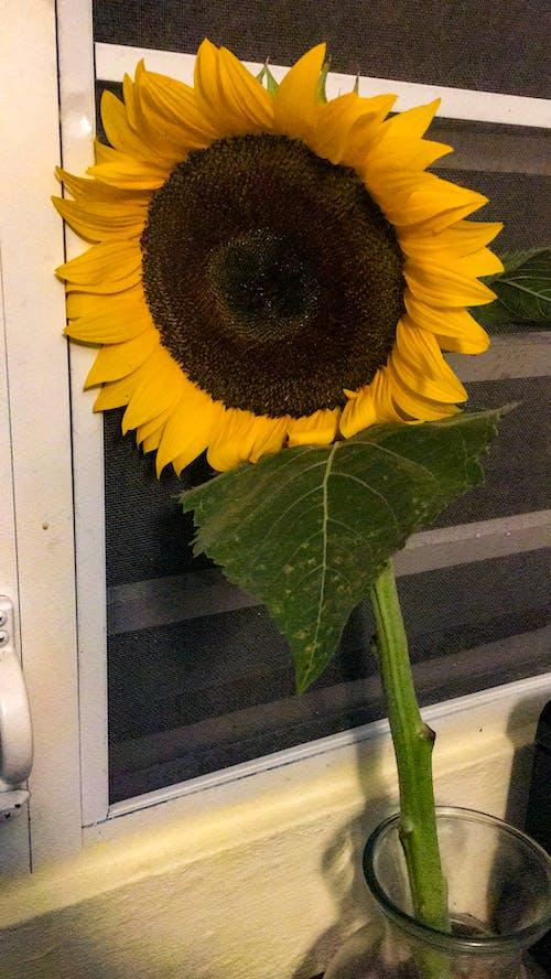 Free stock photo of #yellow, green, sunflower, window
