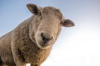 animal, cute, sheep