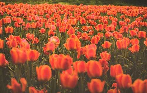 Free stock photo of red tulips, spring, tulips