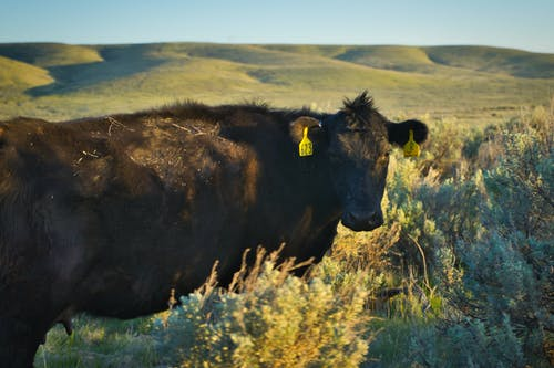 Free stock photo of angus, beef, cow, sage