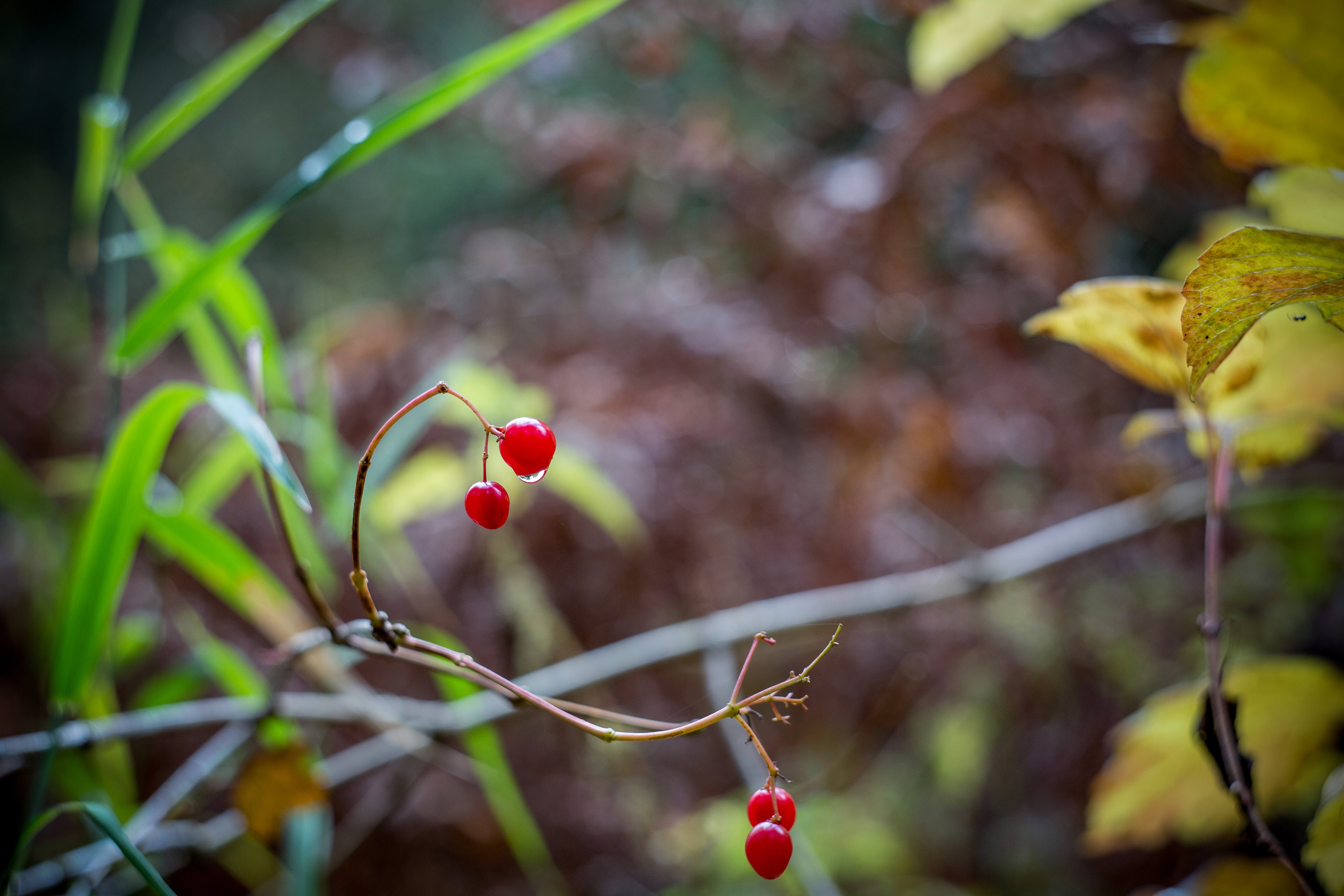 Cherry With No Leaves and Branch