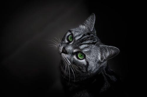 Ilmainen kuvapankkikuva tunnisteilla eläinkuvaus, katsominen, keskittyminen, kissa