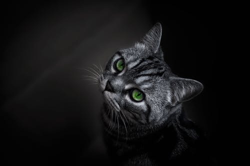 Photo of Short-fur Gray Cat