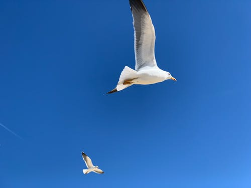 Free stock photo of birds, blue sky, seagulls