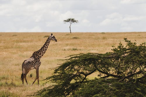 Free stock photo of #giraffe