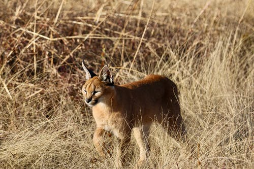 Photos gratuites de animal, animal sauvage, caracal, carnivore