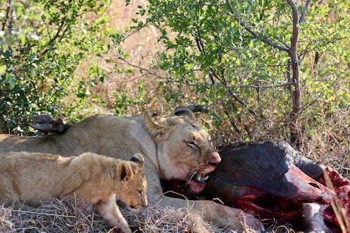 Ilmainen kuvapankkikuva tunnisteilla leijonanpentu, leijonat, lion tappaa