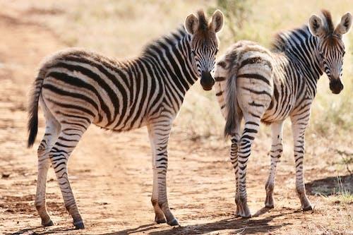 Ilmainen kuvapankkikuva tunnisteilla seepra, vauvan zebra
