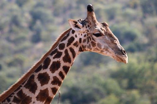 Ilmainen kuvapankkikuva tunnisteilla kirahvi